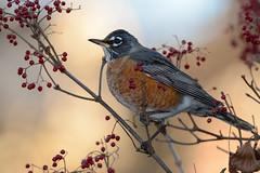 American Robin (JDA-Wildlife) Tags: birds nikon nikond7100 tamronsp150600mmf563divc jdawildlife johnny portrait closeup eyecontact robinamerican americanrobin thrushes whatbirdbestofday gorgeous brilliant wow