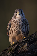 Kestrel (Mr F1) Tags: wild kestrel wildlife raptor johnfanning outdoors nature woodland somerset uk bird birdsofprey bop