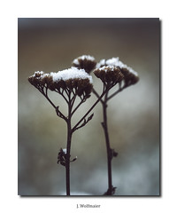 DSC03725 1 (J.Wolfmaier) Tags: sonyalpha macro macrophotography flower winter december snow schnee nature moody
