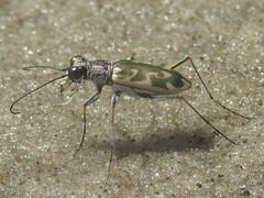 Ellipsoptera macra macra, male (tigerbeatlefreak) Tags: ellipsoptera macra insect tiger beetle coleoptera cicindelidae nebraska