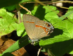 Red-banded Hairstreak (Bug Eric) Tags: animals wildlife nature outdoors insects bugs butterflies hairstreaks lycaenidae lepidoptera usa ijamsnaturecenter knoxville tennessee northamerica october292018 calycopiscecrops redbandedhairstreak