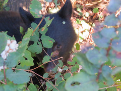 Bear Cub (Shelley Penner) Tags: vancouverisland bear black cub mammals ursus