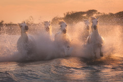 Thundering Horses (Iurie Belegurschi www.iceland-photo-tours.com) Tags: white whitehorses camargue france french water equine equestrian adventure beautiful beach daytours dreamscape earth enchanting fineartlandscape fineart fineartphotography fineartphotos finearticeland guidedphotographyworkshops guidedtoursiceland guidedphotographytour guidedtoursiniceland icelandphototours iuriebelegurschi landscape landscapephotography landscapephoto landscapes landscapephotos nature nationalpark outdoor outdoors overcast orange phototours phototour photographyiniceland photographyworkshopsiniceland equines tranquil summer tours travel tripsiceland travelphotography view workshop workshops horsesrunning