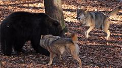 european wolf and Brown bear Ouwehands 094A801 (j.a.kok) Tags: bear beer bruinebeer brownbear animal europe europa ouwehands mammal zoogdier dier predator wolf europeanwolf europesewolf