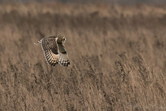 Short Eared Owl-1751 (WendyCoops224) Tags: 100400mml 80d fens winterwatch canon eos ©wendycooper short eared owls asio flammeus