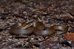 Swamp Snake (Hemiaspis signata) (shaneblackfnq) Tags: swamp marsh snake hemiaspis shaneblack reptile elapid venomous mt mount lewis julatten fnq far north queensland australia rainforest tropics tropical