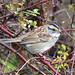 White-throated Sparrow - Vancouver, BC