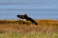 DSC_5069 seo (m.c.g.owen) Tags: asio flammeus short eared owl aust warth severn estuary south gloucestershire england birds january 8th 2019