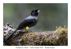 Yellow-thighed finch (Jan H. Boer, Nature photographer) Tags: pselliophorustibialis yellowthighedfinch geeldijstruikgors birds finches nature wildlife costarica sangerardodedota highlands nikon d500 afsnikkor200500f56eedvr jan´sphotostream2018