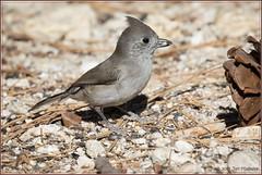 Oak Titmouse 2000 (maguire33@verizon.net) Tags: oaktitmouse bird titmouse wildlife palmdale california unitedstates us