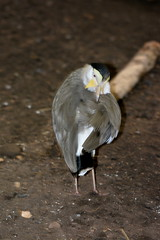 Chicago, IL - Lincoln Park - Lincoln Park Zoo - McCormick Bird House - Masked Lapwing (jrozwado) Tags: northamerica usa illinois chicago lincolnpark park zoo bird lapwing