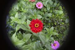 Fay's Garden (milfodd) Tags: july 2018 garden zinnias flowers