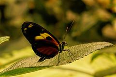 Butterfly (Matthias Harbers) Tags: butterfly insect animal female nature plant flower panasonic dmctx1 photoshop elements topaz 1 lumix zs100 tz100 outdoor neworleans louisiana usa audubonbutterflygardenandinsectarium