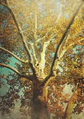 one of three (marjoree) Tags: trees sycamore autumn fall texas