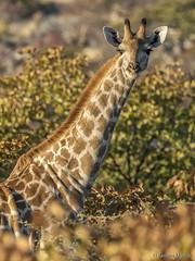 DSC3808 Jirafa (Giraffa camelopardalis angolensis) en Etosha N.P., Namibia (Ramón Muñoz - Fotografía) Tags: namimia parque nacional national park etosha de jirafa giraffa camelopardalis angolensis