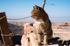 Cat at Petra (CMGS1988) Tags: أمصيحون maangovernorate 约旦 jo