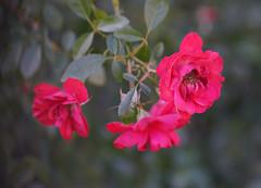 DSC09749 (Lens Lab) Tags: sony a7r achromat 100mm plants garden flowers roses