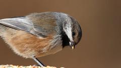 Boreal Chickadee - extreme closeup! (Sandra_Gilchrist) Tags: boreal chickadee sandragilchrist darlingtonprovincialpark darlington provincialpark bird avian closeup