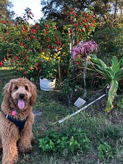 Milo working in the garden