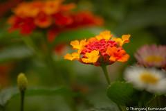 Wild Sage (Lantana camara) (Kumaravel) Tags: lr bokeh nature flora yercaud kumar flower closeup kumaravel crop blossom heavensledgecampsite dof india