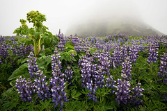 Lupine World (Dani℮l) Tags: iceland island danielbosma lupine flouwen plant drizzly weather grijs gray overcast mysterious vegetation nature beauty invasive europe landscape purple green wet rain water leaf