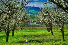 Rivoglio la primavera... (Gianni Armano) Tags: rivoglio la primavera foto gianni armano photo flickr