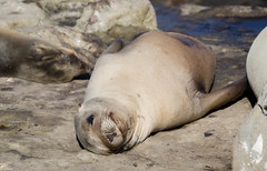 #same (Angela Freeman) Tags: sealion seal pup lajolla california sandiego pentaxk5