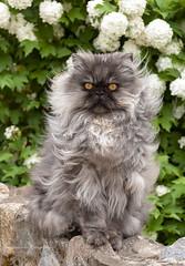 Persian cat (Lyutik966) Tags: persian cat breed animal wool eyes ears flower plant stone street ostashkov russia coth coth5 natureinfocusgroup