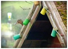 These lights are driving me quackers..lol (Deida 1) Tags: mallard female bird roof logcabin garden uk staffordshire