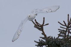 Canon 600 f4 version III Lens (Peter Stahl Photography) Tags: snowowl owl male hunting canon600iii canon winter snow voles