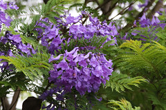 Jacaranda Flowers - 90/100 (DaveSPN) Tags: 100flowers2018 90100