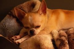 zzzz ... Le bonheur!  Dormir (BLEUnord) Tags: chien dog dormir rêver dream sommeil yeux fermés closed eyes