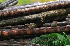 Sparrows / Lofoten Islands Norway Moskensoya (k.marek.gncr) Tags: wildlife bird sparrow nature feather wood lofoten norway gbcrphoto sorvagen nordland moskensoya norge natural islands