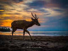 Deer on the beach (budisiswanto1) Tags: pangandaranrecreationpark pangandaranbeach barkingdeer indonesia westjava wildanimal deer pangandarannationalpark pangandaran