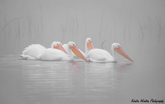Whiteout Part II (Kerstin Winters Photography) Tags: lake pelikane vögel photography fotografie flickrnature nikondsl nikondigital nikon pelicans bird california water see teich