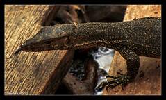 Hunting (VERODAR) Tags: monitorlizard lizard jungle junglelife junglefloor mangroveforest wildlife nature natureandwildlife nationalpark nikon verodar veronicasridar