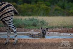 Mhhh...my next meal? (fascinationwildlife) Tags: animal mammal wild wildlife water hole nature natur national park hyena spotted tüpfelhyäne predator zebra prey hyäne south africa summer südafrika eastern cape addo elephant morning