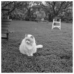 Paco in clover (TPStearns) Tags: hasselblad film 60mmcf trix 120 mediumformat blackandwhite bw monochrome