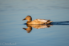 Off Colored Hen Mallard (cmrotell) Tags: hen mallard duck water swimming differnt different