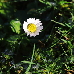 Daisy (Treflyn) Tags: flower bloom cold winter day flurry snow nice surprise daisy drive yeldall manor hare hatch berkshire