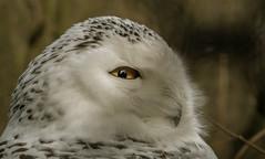 Schnee Eule (Bubo scandiacus) (Konrads Bilderwerkstatt) Tags: eule schneeeule vogel uhu tier kopf schnabel auge feder weis flecken natur umwelt wildpark sony alpha 77 m2 ast zweig bild foto porträt