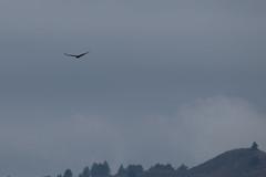 IMG_4432 (armadil) Tags: prairie ranchocorraldetierra bird birds vulture turkeyvulture flying