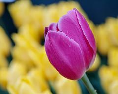 Winter tulips (shinichiro*) Tags: 20190112sdim7892 2019 crazyshin sigmasdquattroh sdqh sigma1770mmf284dcmacrohsm january winter flower macro enoshima kanagawa japan jp 江ノ島 tulip チューリップ