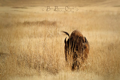 Can they see Me now (Beve Brown-Clark) Tags: wild wildlife bison buffalo nationalbisonrange montana beast bevebrownclark ©bevebrownclark dixon
