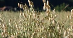 DSC05664 (ursrüegsegger) Tags: linden juli august getreideernte bauernhöfe landschaft regenbogen