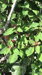 (h2kyaks) Tags: coconutcreek butterflyworld pianokeybutterfly