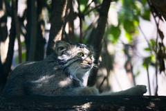 Pallas cat (Cloudtail the Snow Leopard) Tags: manul tier animal mammal säugetier katze cat feline beutegreifer pallas otocolobus tierpark berlin