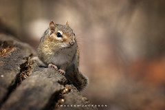 Chipmunk 2018 (John Hoadley) Tags: chipmunk royalbotanicalgardens burlington ontario 2018 april canon 7dmarkii 100400ii f8 iso320 animal