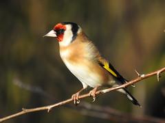 Goldfinch DSCN4710 (ianpreston) Tags: 2019 goldfinch housesparrow sparrow nationaltrust calkeabbey ticknall derbyshire