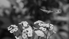 Flowers and Butterfly in Black and White (lgflickr1) Tags: blackandwhite bw monochrome flowers butterfly flight animal animalplanet bokeh dof daytime flora nature nopeople overcast peaceful pretty travel tree vacation florida keywest wildlife simple